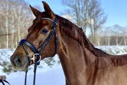 breed mare donna rhld